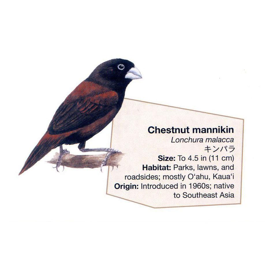 chestnut mannikin