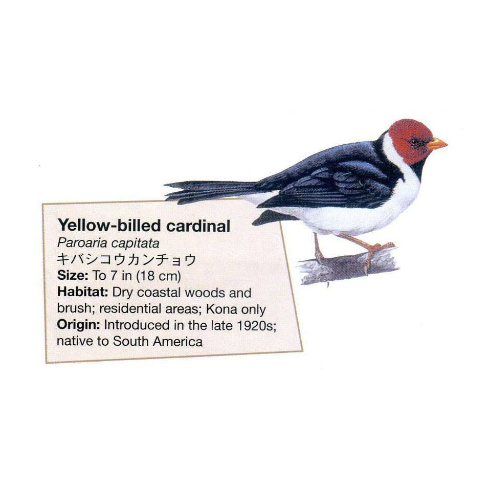 yellow billed cardinal